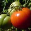Дуже врожайний томат «ем чемпіон»: опис та характеристика сорту, врожайність помідорів