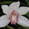 Очиток білий: опис, догляд та розмноження