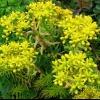 Очиток (седум): особливості посадки і догляду за рослиною