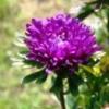 Однорічні айстри в саду, догляд за рослинами