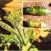 Огіркова мозаїка - причини захворювання і заходи боротьби з ним