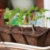 Огіркова трава: посадка і догляд