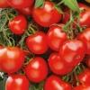 Опис сорту і особливості вирощування гібридного томата «мар`їна роща»