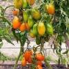 Опис сорту томату «золота рибка», який відмінно росте і плодоносить в несприятливих умовах