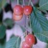 Досвід вирощування черешні в сланкий формі