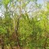 Досвід вирощування груші на кизильник
