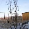 Досвід вирощування колонновидних яблунь на уралі