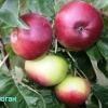 Досвід вирощування колонновидних яблунь в новгородської області