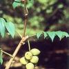 Настоянка горіха маньчжурського: фармакологічні властивості, способи застосування