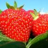 Органічні і мінеральні добрива для полуниці