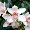 Орхідея цимбидиум - королева ароматів. Догляд в домашніх умовах