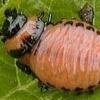 Основні методи боротьби з личинками колорадського жука