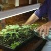 Особливості підживлення розсади баклажанів в домашніх умовах і відкритому грунті, ніж підгодувати для зростання, як удобрювати до і після пікіровки