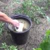 Особливості підживлення розсади огірків в домашніх умовах і на ділянці: як, чим і як часто підгодовувати