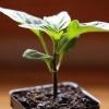 Особливості посадки перцю на розсаду в лютому: коли краще садити насіння, як доглядати за сходами, перша підгодівля