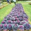 Особливості вирощування цвітної капусти