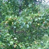 Особливості вирощування груші. Сорт кюре