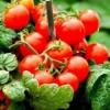 Від посадки розсади до збору врожаю: секрети успіху у вирощуванні помідорів чері
