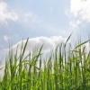 Озиме жито як добриво