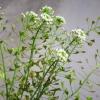 Грицики, лікувальна трава