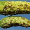 Павутинний кліщ і тля на огірках в теплиці: фото, заходи боротьби та лікування хвороб