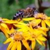 Бджоли в саду, їх роль в запиленні рослин і виробництві цінного продукту харчування і ліки