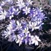 Печіночниця в моєму весняному саду
