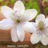 Переліска, або печіночниця, види печіночниця, прикраса саду
