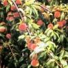 Персик в примор`я у шліхта володимире михайловичу, сорти, агротехніка