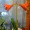Перше цвітіння гиппеаструма.