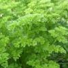 Петрушка, корисні властивості рослини