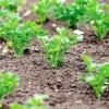 П`ять способів посіву насіння моркви