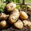 Родюча земля для картоплі
