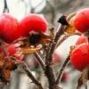 Плоди шипшини - лікувальні властивості і протипоказання