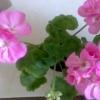 Чому моя герань (кілька) ніколи не цвіте будинку?