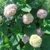 Чому не цвіте гортензія?