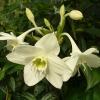 Чому не цвітуть антуриуми і амазонская лілія, стоять поруч
