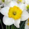Чому не цвітуть нарциси?