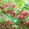Чому погано плодоносить аґрус