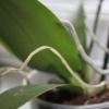 Чому сохнуть коріння у орхідеї? Причини і реанімація