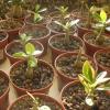 Чому у адениума стали сохнути і опадати листя?