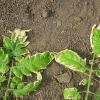 Чому у розсади помідора біліють листя і що з цим робити?