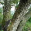 Чому зеленіють стовбури дерев?