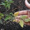 Чому жовтіють і сохнуть листя у томатів і як з цим боротися?