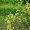 Чому жовтіє листя у молодої смородини?