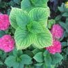 Подарували квітучі гербери в горщику. Їх влітку можна буде на дачі висадити?