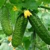 Підживлення і удобрення грунту для вирощування огірків