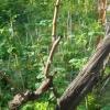 Уривок кущів винограду: навіщо вона потрібна і як її правильно робити?