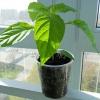 Докладна інструкція із застосування препарату «агрікола» при вирощуванні розсади