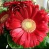 Підкажіть будь ласка купила герберу тиждень простояла, а зараз квіточки загинаються. Чому?